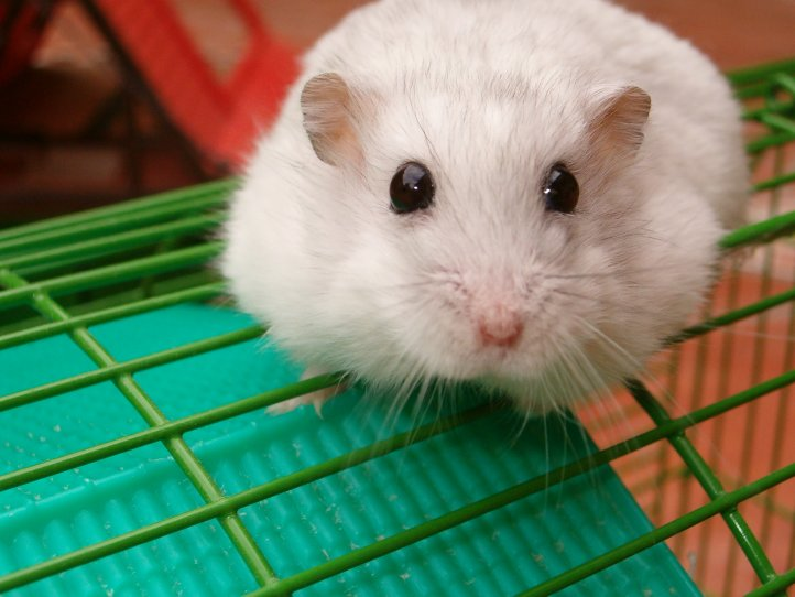 caniche toy rata esteroides